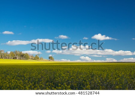 Buckwheat field and a blue sky in the southern Urals.