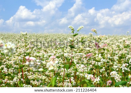 Buckwheat field in summer - stock photo