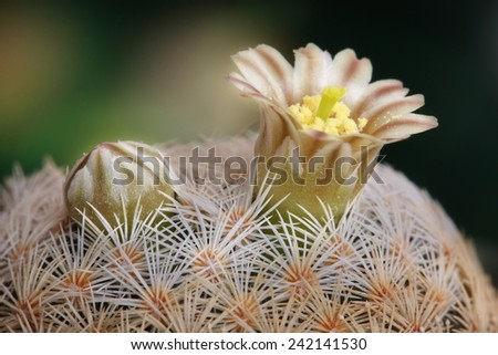 bud and flower cactus on dark background - stock photo
