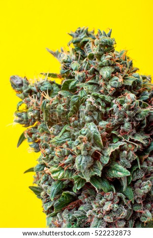 bud cannabis on a yellow background, is covered with trichomes THC and CBD medical strain