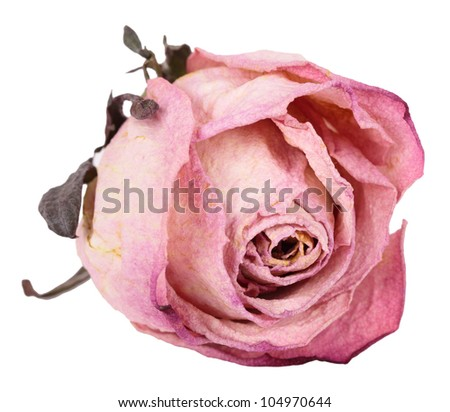 Bud dried pink roses, isolated on white background