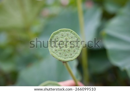 Bud Eastern wild Lotus. Seeds. Listed in the red book as a rare flower. Asian Lotus. Oriental Lotus. Lotus flower. Lotus pond. Symbol of purity in Buddhism. Valley of lotuses. Biological additive.  - stock photo