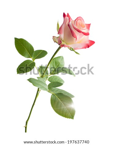 Bud of a scarlet rose. Isolated on white background. close-up - stock photo