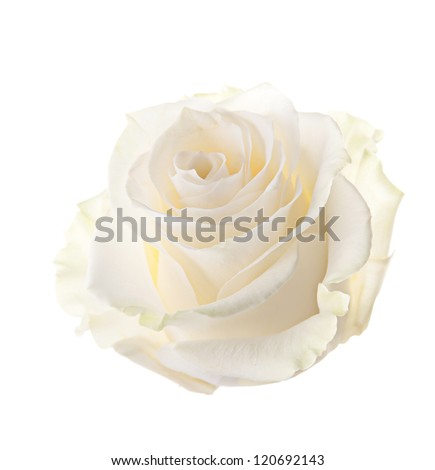 Bud of a white rose. isolated