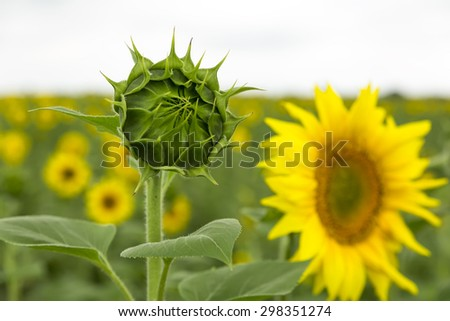Bud of flower of sunflower on a background the exposed flower in storm weather. Agriculture. - stock photo