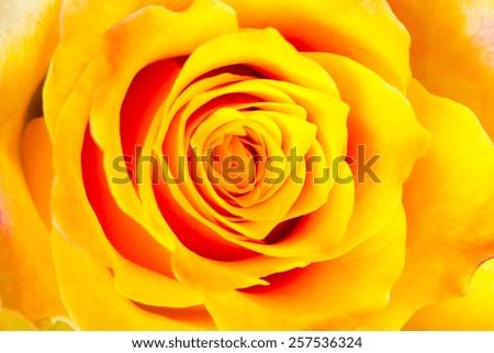 bud of the yellow rose - stock photo