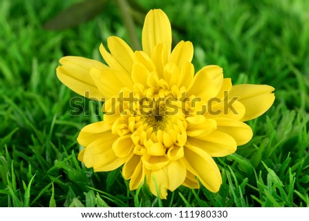 bud of yellow chrysanthemums on the green grass close-up - stock photo