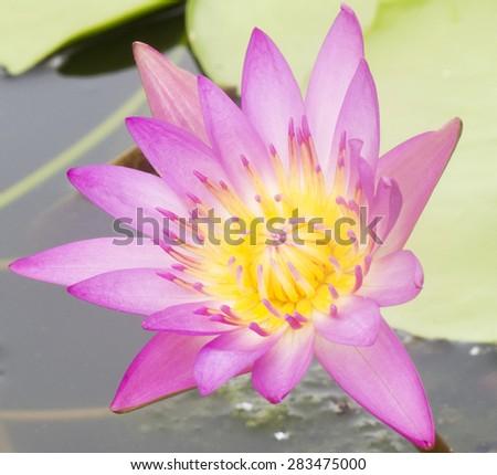 Bud pink lotus, flower of buddhist - stock photo