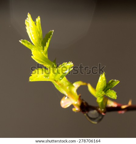 bud with leaves on a branch after the rain. close-up - stock photo