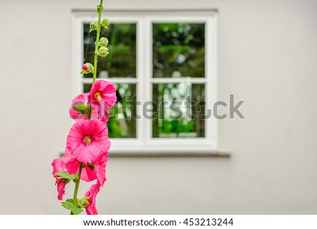 Budding and pink blossoming common hollyhock or Alcea rosea plant in front of the white plastered facade of an old house in a small Dutch village. - stock photo
