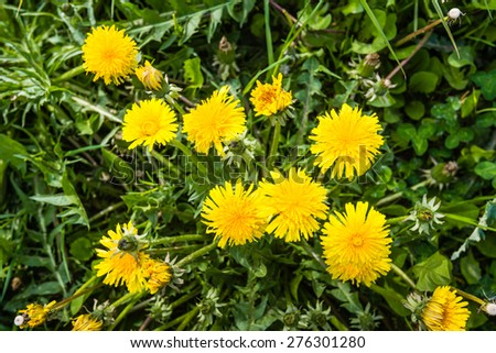 Budding, blooming and overblown common dandelions in their own natural habitat on a sunny day in the early spring season. - stock photo