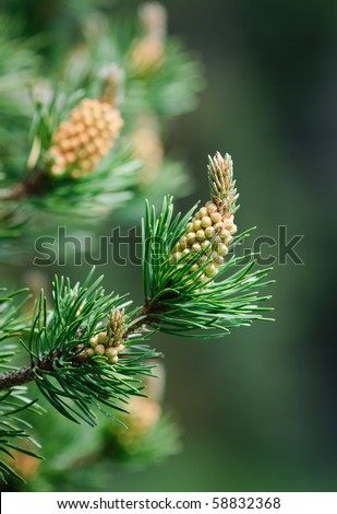 Budding branches of a Lodgepole Pine tree in Kananaskis Country Alberta Canada - stock photo