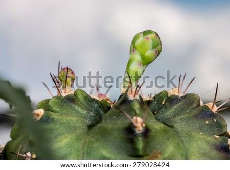 Budding Gymnocalycium cactus flower - stock photo
