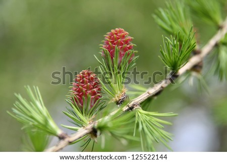 Budding larch cones, the spring messenger