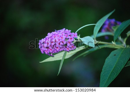 Buddleia There is a close-up from a purple summer lilac.  - stock photo