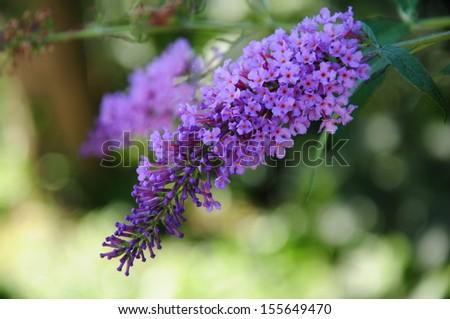 Buddleja davidii (Butterfly Bush) in bloom - stock photo