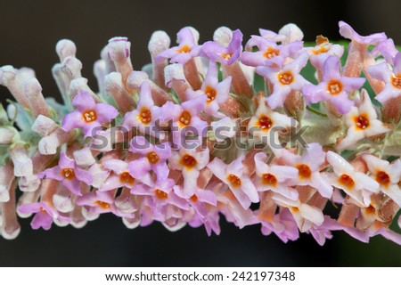 Buddleja macrostachya is a large deciduous shrub or small tree with a vast distribution, doi lang Thailand. - stock photo