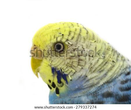 budgerigar bird isolated on white background - stock photo