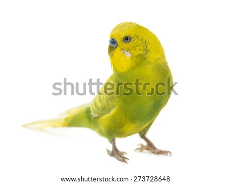 Budgerigar, Melopsittacus undulatus, in front of a white background - stock photo