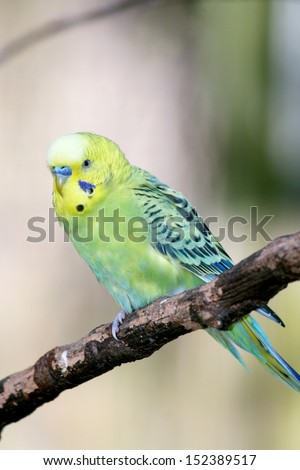 Budgerigar (Melopsittacus undulatus) is a small parrot occurring in Australia