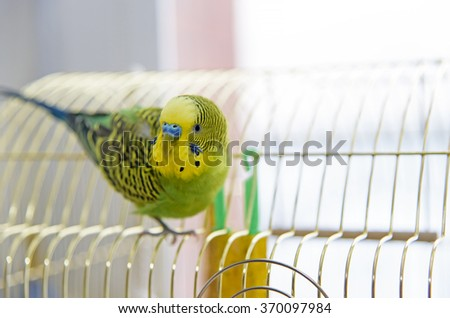 Budgerigar on  bird cage. Budgie - stock photo