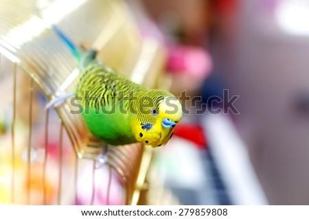 Budgerigar on the birdcage. Budgie - stock photo
