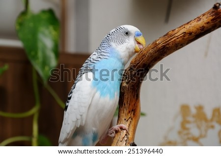 budgerigar perched on branch and picking the bark