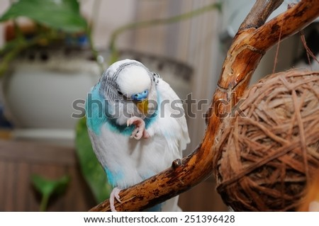 budgerigar, which cleans its feathers - stock photo