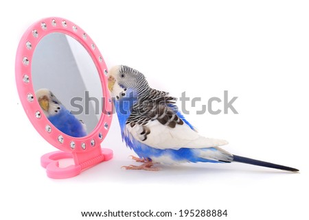 budgerigars australian parakeets isolated on white background with a mirror - stock photo
