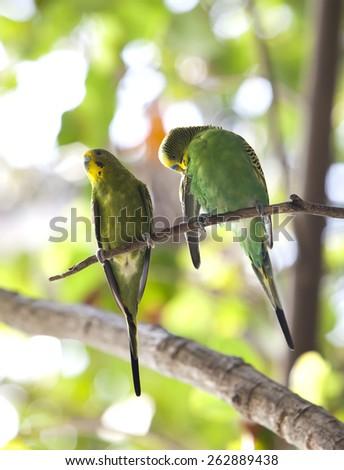 Budgerigars , shell parakeet on branch - stock photo