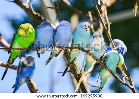 Budgie (parakeet) birds on tree branch - stock photo