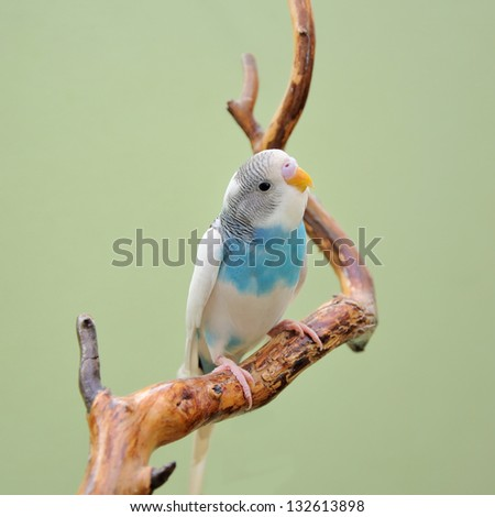 budgie resting on a dry branch - stock photo