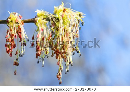 Buds blossomed on a branch. Blooming tree in spring. - stock photo