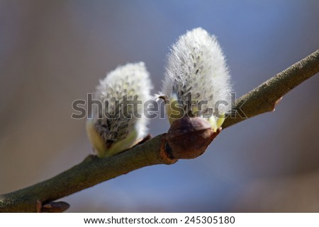 Buds of a pussy-willow against blue sky - stock photo