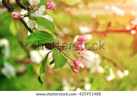 Buds of apple flowers in spring bloom- spring floral background in warm pastel tones with apple tree in the spring garden. - stock photo