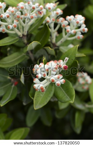 Buds of the Pohutukawa (Metrosideros excelsa) a native tree of New Zealand often referred to as the New Zealand Christmas Tree as it flowers in December. Known as rakau rangatira by the Maori. - stock photo