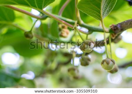 Buds on kiwi fruit plant - stock photo