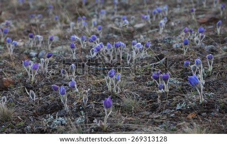 buds Pulsatilla grandis on the meadow - stock photo