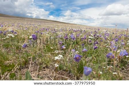 buds Pulsatilla grandis on the meadow - stock photo