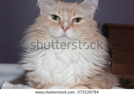 Buff and White Cat