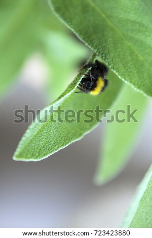 Buff-tailed bumblebee Bombus terrestris sitting on a Green Leaf of Common Sage Salvia officinalis in a Small Balcony Garden in Czech Republic