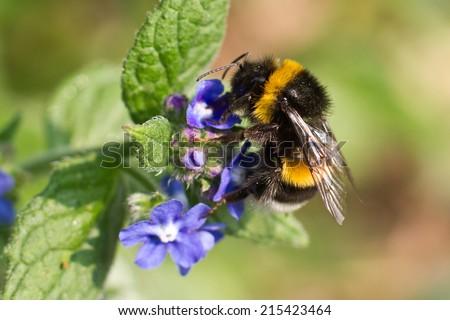 Buff-tailed Bumblebee on flower - stock photo