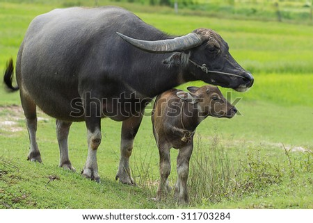 Buffalo and calf on the field