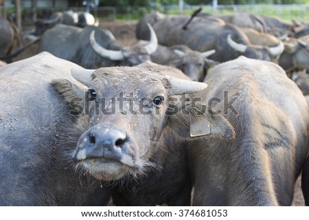 Buffalo animals, mammals. The workers do not help farmers.In Thailand.
