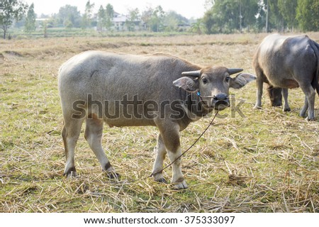 Buffalo animals, mammals. The workers do not help farmers .In Thailand