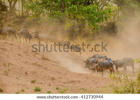 Buffalo are walking back  to the fold in the evening.