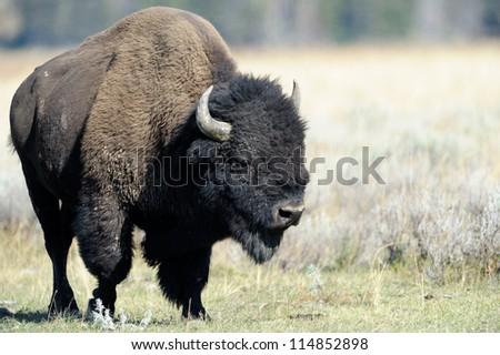 Buffalo at Yellowstone - stock photo