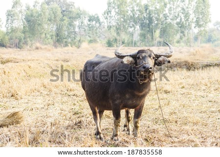 buffalo beautiful in wide field and  sunlight of thailand - stock photo