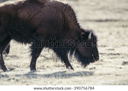 Buffalo (Bison) on the Plains of Colorado