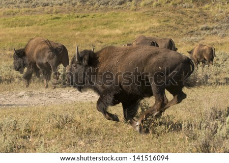 Buffalo Bison running in Lamar Valley Yellowstone - stock photo